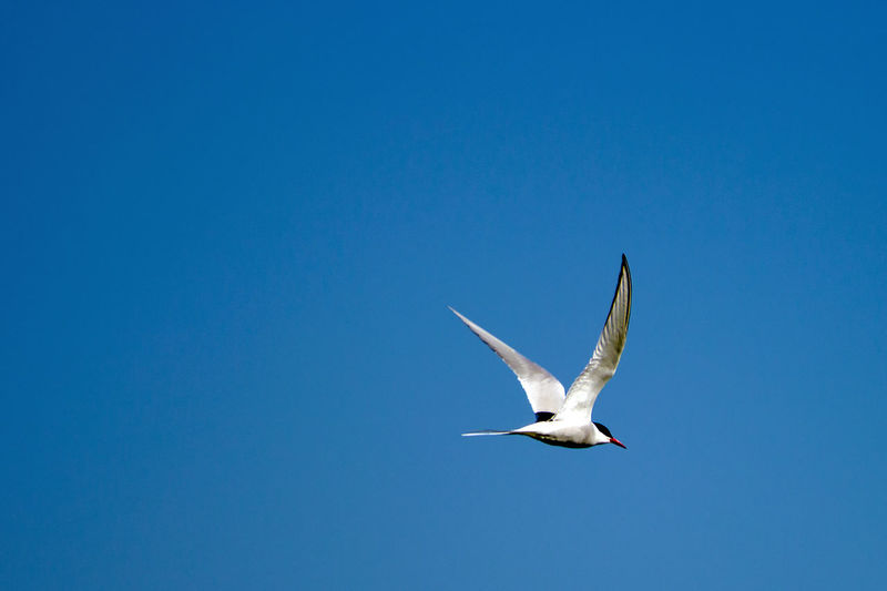 Low Angle View Of Tern Flying Against Clear Blue Sky
