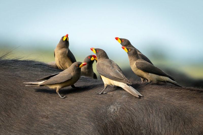 Yellow-billed oxpeckers perch together on cape buffalo