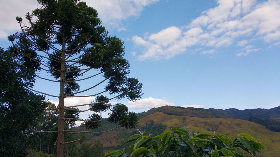 Araucaria. Tree Nature Sky Cloud - Sky Growth Beauty In Nature Agriculture Day No People Leaf Plant Outdoors Rural Scene Vscocam No Filter Check This Out Araucaria Open Edit EyeEm Selects Mountain
