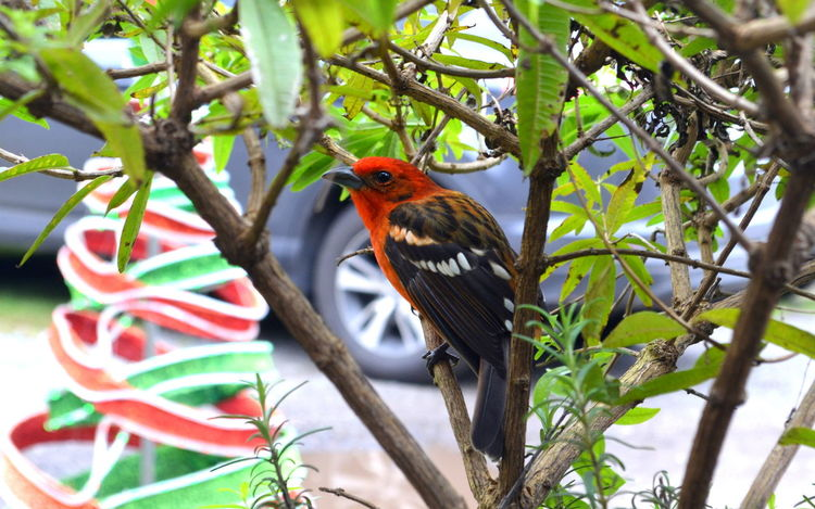 #panama Beauty In Nature Bird Boquete Chiriqui Multi Colored One Animal Outdoors Perching Tree