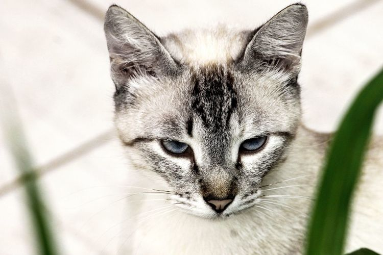 Cat Gato Felino Feline Feline Companions Eyes Blue Blueseyes Olhos White Canon Photography Photo Photooftheday Taking Photos