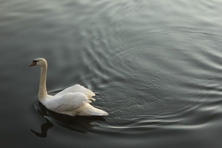 Bird Black Water Contrast Floating On Water Lake Nature Outdoors Swan Swimming Water Water Bird White TakeoverContrast Discover Berlin