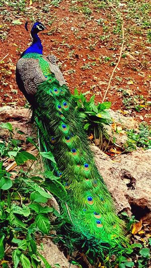 Animal Themes Animals In The Wild Beauty In Nature Bird Day Fanned Out Feather  Nature No People One Animal Outdoors Peacock Peacock Art Peacock Colors Peacock Feather Peacockphotos Wildlife