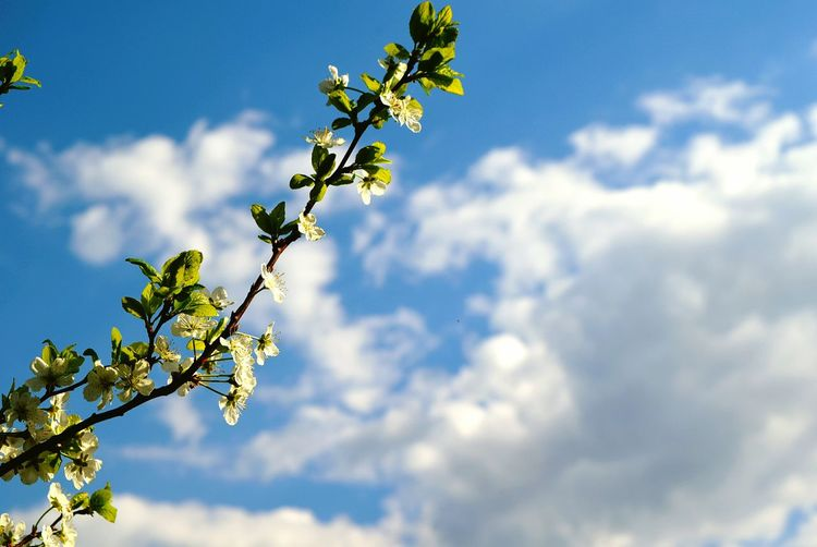 Branch Beauty In Nature Flower Growth Tree Leaf Sky Fragility Freshness Nature Cloud Day Cloud - Sky Petal Low Angle View Scenics High Section Outdoors Focus On Foreground Growth Soft Focus Summer Photography Beauty In Nature