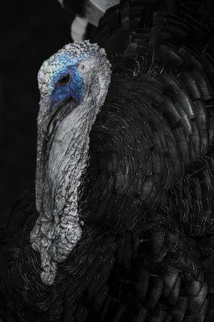 Turkey Pose Turkey Nature Animal Wildlife Burds Blackandwhite Blackandwhite Photography