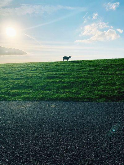 Dutch Sheep Sky Plant Cloud - Sky Field Green Color Land Scenics - Nature