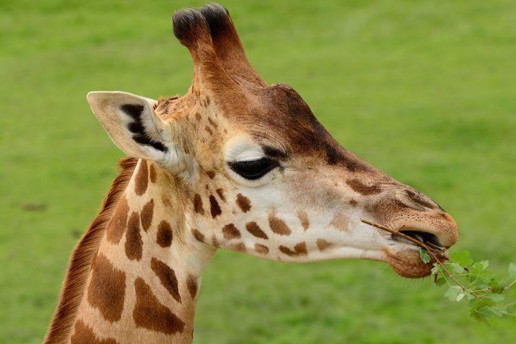 Close-Up Of Giraffe Feeding On Plants At Field
