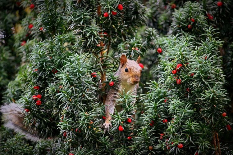 Squirrel Amidst Berries On Tree
