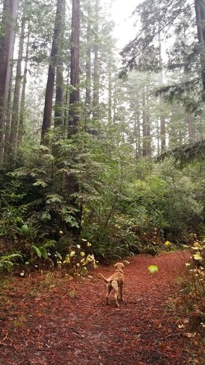Golden retriever in the redwoods Redwoods Redwood Trees Pet Portraits Golden Retriever Dog Nature