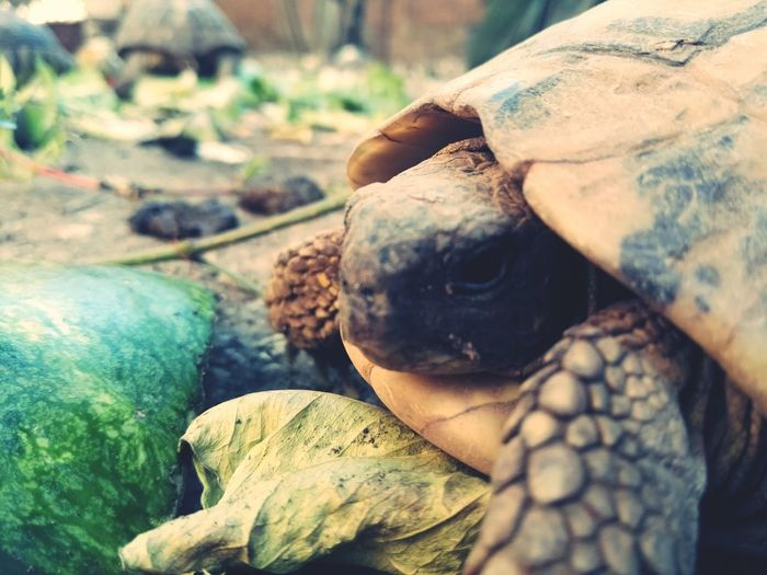EyeEm Selects Animal One Animal Animal Wildlife Animals In The Wild Day Animal Themes Outdoors Mammal No People Nature Close-up Tortoise Shell Getty+EyeEm Collection Getty & Eyeem Turtle 🐢 Turtles(: Turtles Swimming Turtle Time Turtle Rock Turtle Neck Turtel ♥ Turtle Lake  Turtle Eggs Green Nature