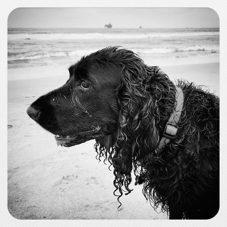 IPhoneography IPSBlackWhite Blackandwhite Black & White Black And White Spaniel Field Spaniel Pets Dogs