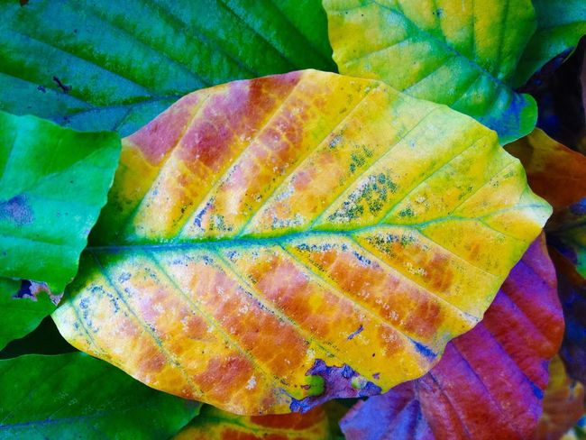Colourful Foliage Leaf Close-up No People Nature Autumn Green Color Outdoors Freshness Day Plant Beauty In Nature Backgrounds Multicolour Leaves