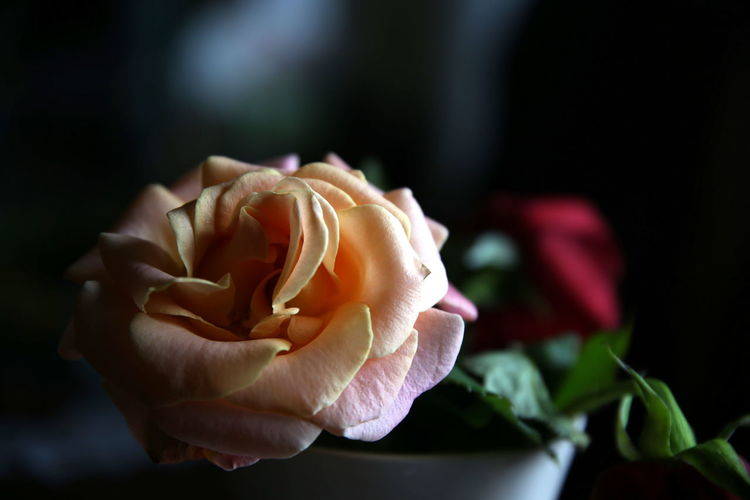 Partially illuminated yellow rose with blurred red bud in the background