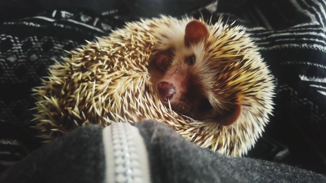 EyeEm Selects Hedgehog Pets One Animal Animal Themes Domestic Animals Mammal Indoors  Close-up No People Spiked Day Small Animal Cute Cute Animal