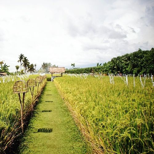 Rice padi field within the restaurant Bali Landscape Sardine Travel Indonesia ricefields nature food
