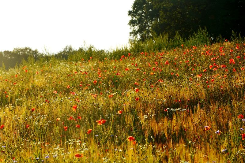 Mohnblumen Wiese Flower Poppy Nature Growth Field Rural Scene Plant Flowerbed Wildflower No People Beauty In Nature Landscape Red Summer Poppy Flowers Poppy Fields Poppyflower Mohnblumen💫 Wiese  Meadow Flowers Meadow Meadowflowers Meadows And Fields Poppy, Isolated, Flower, Red, White, Background, Wild, Beauty, Plant, Poppies, Beautiful, Closeup, Natural, Spring, Floral, Blossom, Flora, Bloom, Design, Single, Nature, Green, Color, Summer, Symbol Poppy Love