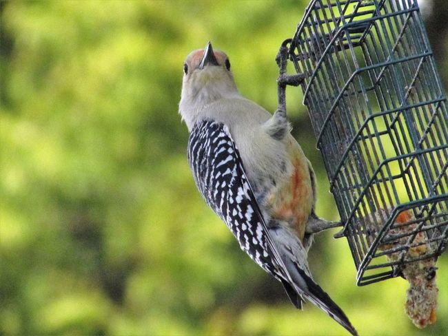 One Animal Bird Animal Wildlife Close-up Animal Themes No People Nature Animals In The Wild Day Perching Outdoors Woodpecker