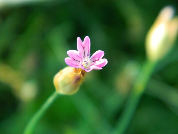 Flower Pink Color Nature Petal Plant Close-up Outdoors Beauty In Nature No People Flower Head Focus On Foreground EyeEm EyeEm Nature Lover EyeEm Gallery EyeEm Flower