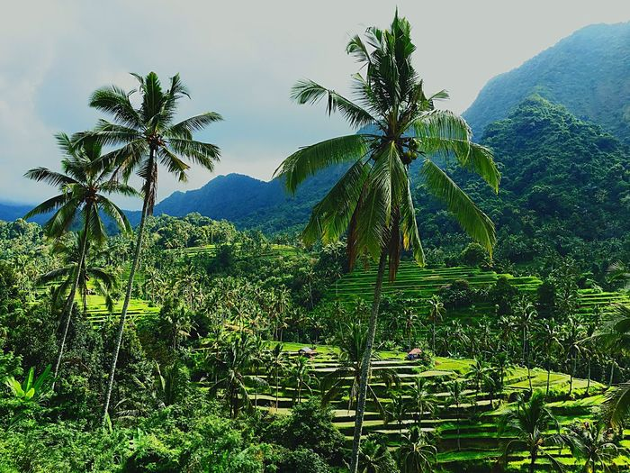 Tranquil Scene Mountain Palm Tree Landscape Beauty In Nature Green Color Nature Non-urban Scene Green Remote Countryside Rice Terraces Bali