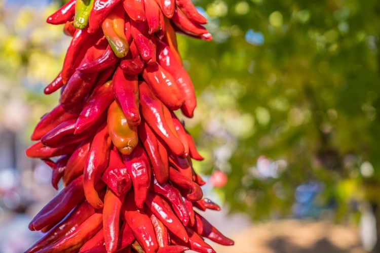 Fall in NM Chile Ristra New Mexico Photography Santa Fe New Mexico Red Chili Red Focus On Foreground Plant Close-up Growth No People Freshness Chili Pepper Red Chili Pepper Nature Day Beauty In Nature Spice Flowering Plant Tree Outdoors