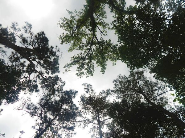 Tree Branch Forest Leaf Sky Treetop Directly Below Tree Area Tree Canopy  Dense Sky Only
