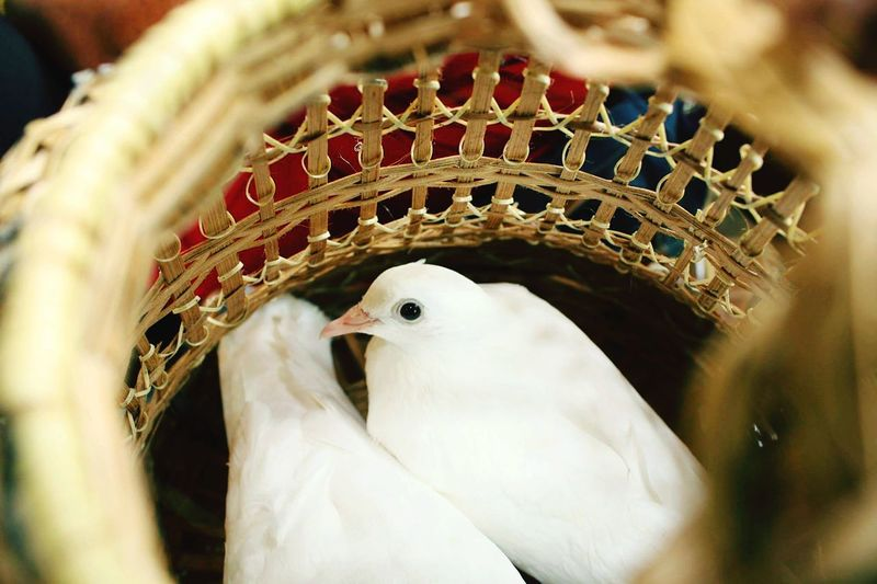 Birds in cages are patiently waiting to fly high. Every living thing is entitled to savour freedom. Bird Eye Feather  Day Nature Close-up Cute Looking At Camera Animal Wildlife Birds🐦⛅ Dove Dove Love Birds Lover