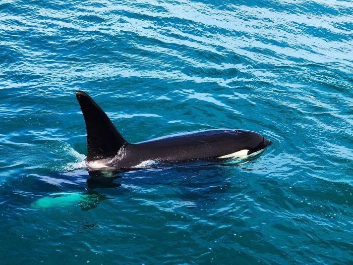 Orca in Kaikoura 🇳🇿 Blessed  Wildlife & Nature Wildlife Killerwale Orca Animal Themes Animal Animal Wildlife Water Animals In The Wild Sea Swimming No People Aquatic Mammal Sea Life Underwater