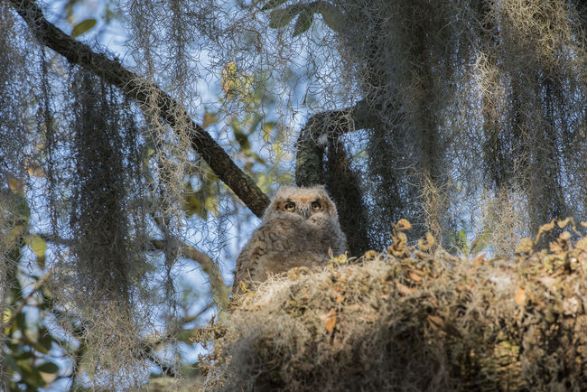 Animal Themes Animal Wildlife Animals In The Wild Baby Owl Beauty In Nature Day Great Horned Owl Low Angle View Nature No People One Animal Outdoors Sky Tree