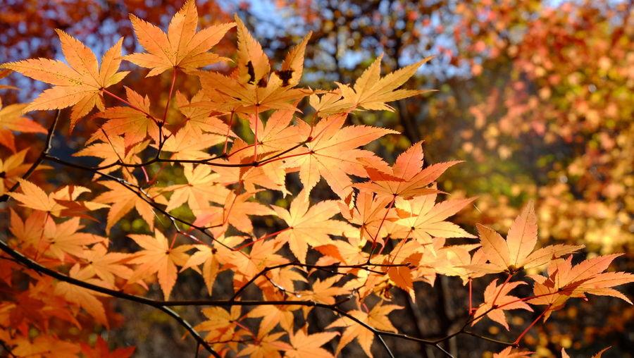 Close-up of maple tree