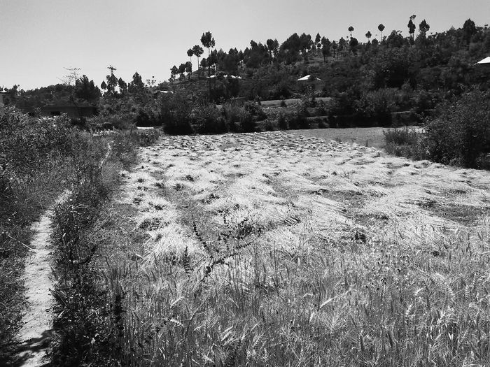 Life cycle Country Life Crop  Harvest Season Wheat Field Pavement Graveyard Black And White Friday