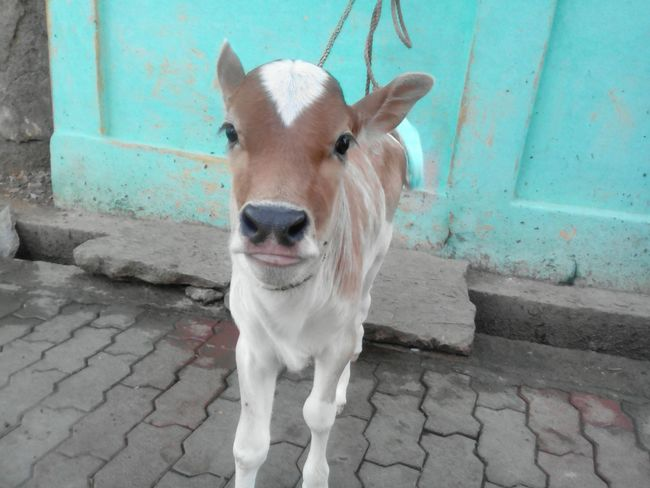 Cow Calf Indian Cow Closeup Tamil Nadu