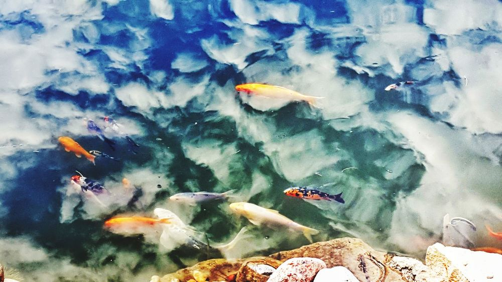 Swimming Beauty In Nature Koi Fish Springtime Reflections In The Water Water Clouds Art Is Everywhere