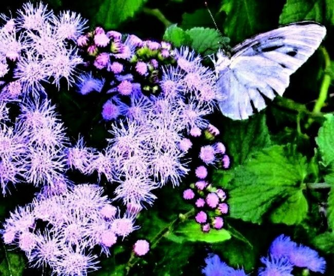 Miracle Garden Flower Butterfly Flower Photography Flowerphotography Naturephotography Nature Photography Flower View Nature View Leaf Japanese Scenery Japanese Nature Dandelion Flower Flower Head Butterfly - Insect Insect Purple Close-up Animal Themes