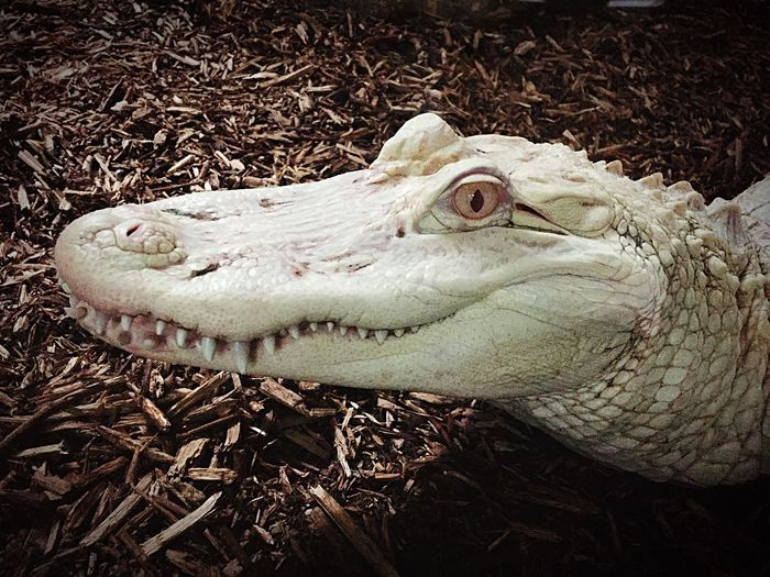 Alligator Albinos Magnifique Ferme Aux Crocodiles Rare 🐊