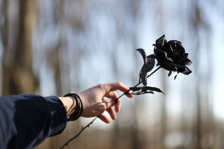 Cropped hand of person holding black rose