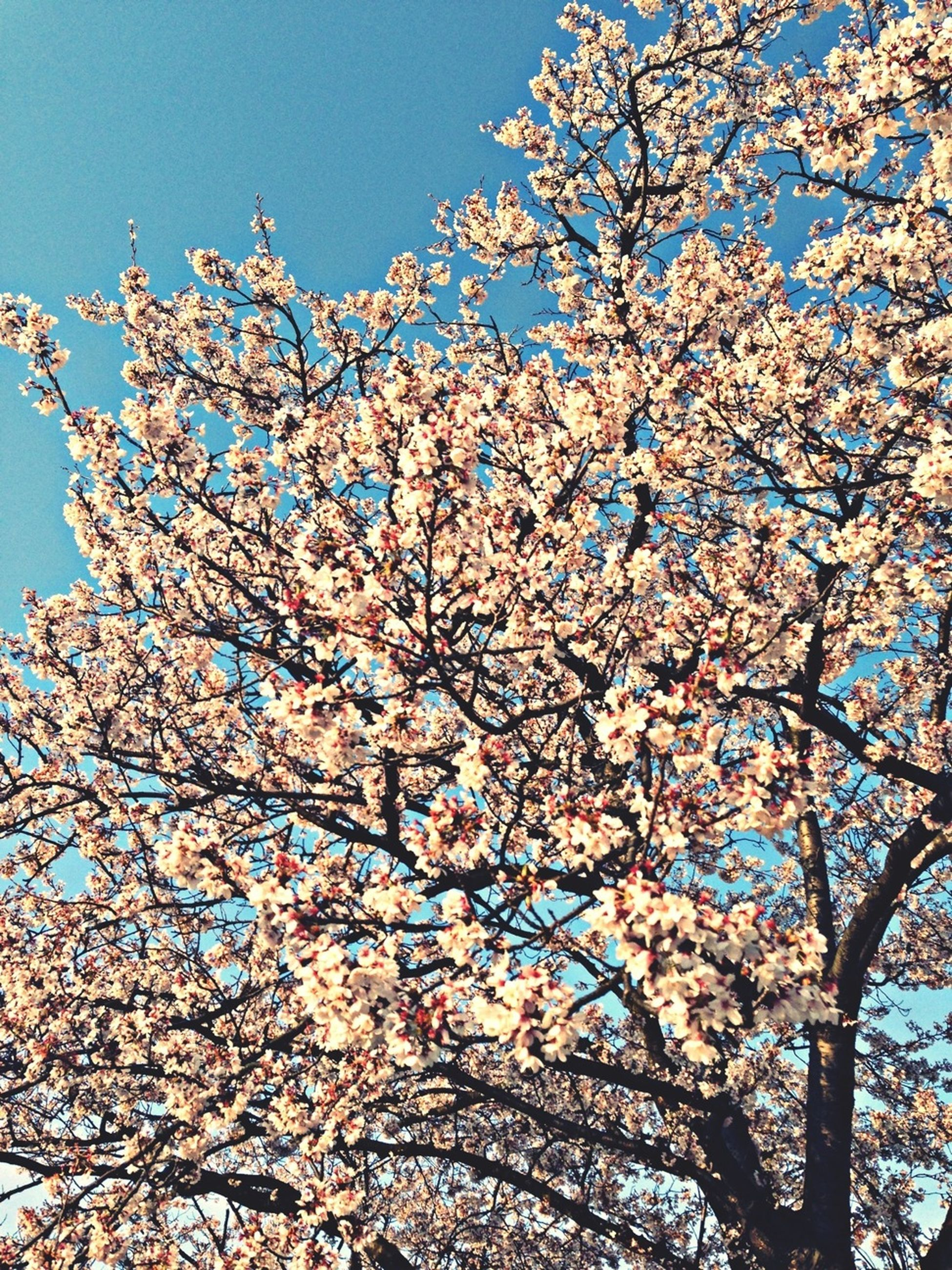 flower, low angle view, tree, branch, freshness, growth, blossom, fragility, beauty in nature, cherry blossom, clear sky, nature, cherry tree, blooming, in bloom, springtime, blue, sky, day, sunlight