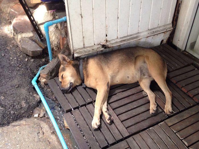 Sweet Dream Thai Dog Nap Thai Street Dog