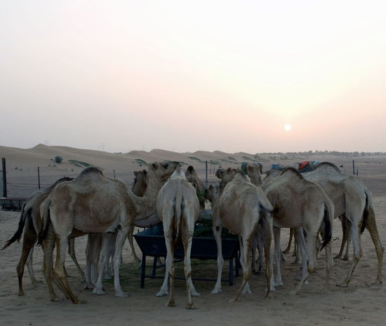 Animal Themes Arid Climate Camel Camel Hump Camels Large Group Of Animals Mammal Nature No People Outdoors Sky Sunset