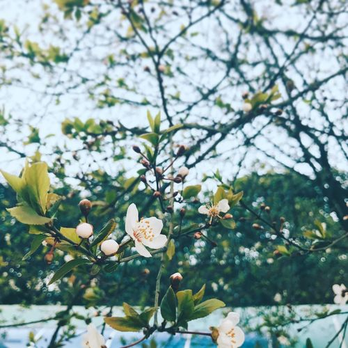 Growth Nature Flower Beauty In Nature Fragility Freshness Tree Springtime Close-up Petal Twig Outdoors Blossom No People Day Blooming Branch Low Angle View Flower Head Sky