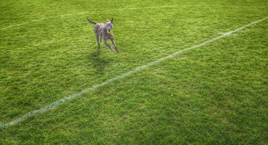 I Love My Dog Lurcher Sighthound LEO... The One Eyed Lurcher... Bushy Park Summer Dog