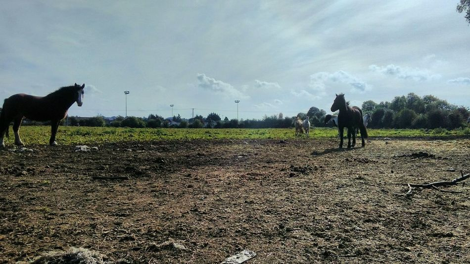 Field Landscape Agriculture Nature Rural Scene Domestic Animals Farm Cloud - Sky Beauty In Nature Tranquility Eye For Photography Freelance Life Taking Photos HDR Hdr_Collection Edit_masters EyeEm Best Edits Autumn🍁🍁🍁 No People Livestock Horses Eyeem Horse
