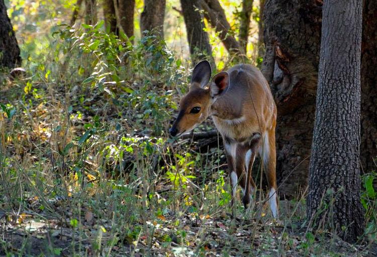 Bush buck Antelope Kruger National Park, South Africa Bushbuck Tree Grass Hoofed Mammal Herbivorous Deer Horned