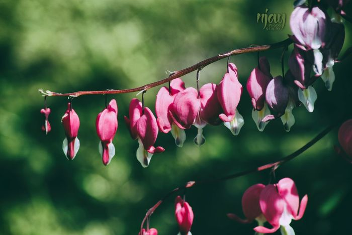 Bleeding Heart  Pink Pink Color Pink Flower Flower Flowerporn Flowers,Plants & Garden Garden Blossom Flower Head Beauty In Nature Close-up Light And Shadow Springtime Nature_collection Naturelovers Nikon Plants And Flowers Plant Macro Petal Tranquility Branch Fragility Filigran Flowers