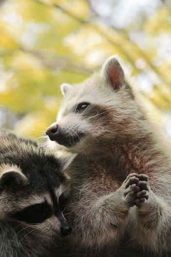 Close-Up Of Raccoons