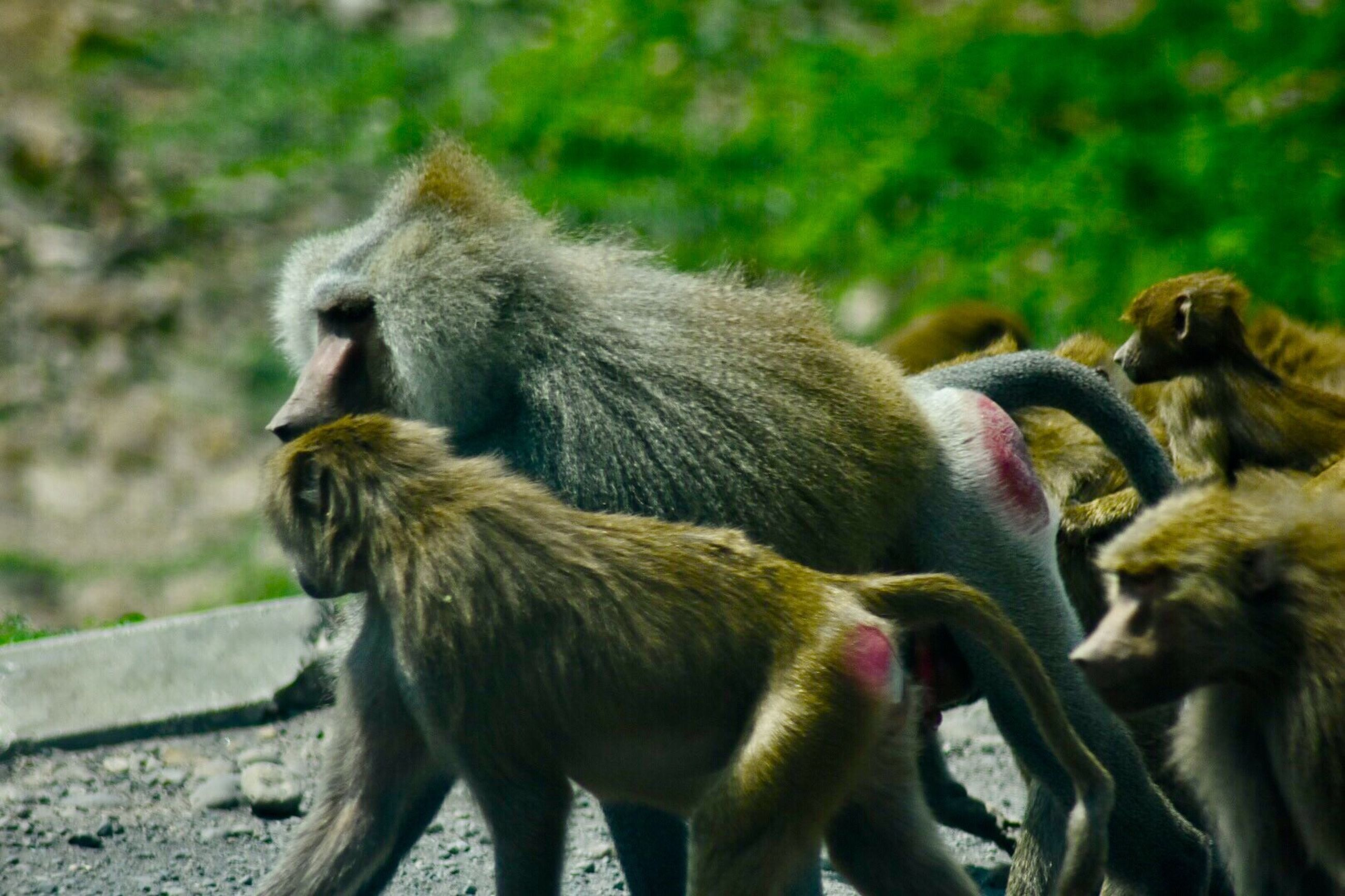 animals in the wild, animal wildlife, two animals, animal themes, animal, animal family, monkey, day, young animal, mammal, no people, outdoors, baboon, sitting, nature, togetherness, full length, close-up