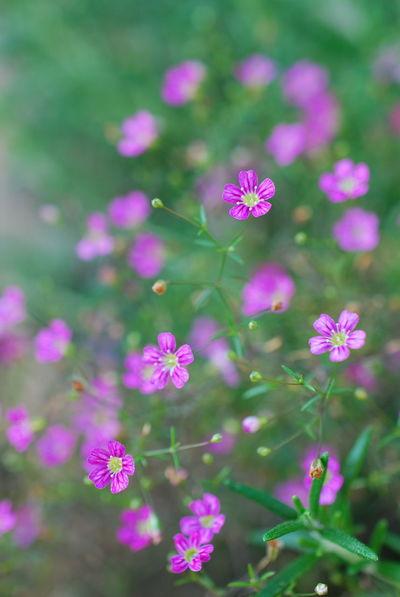 ふわっと咲いたピンクのかすみ草のお花🌼 Flower Nature Beauty In Nature EyeEm Nature Lover Flowerlovers Flower Photography Flower Collection Fragility Flowerporn Flowers EyeEmNewHere