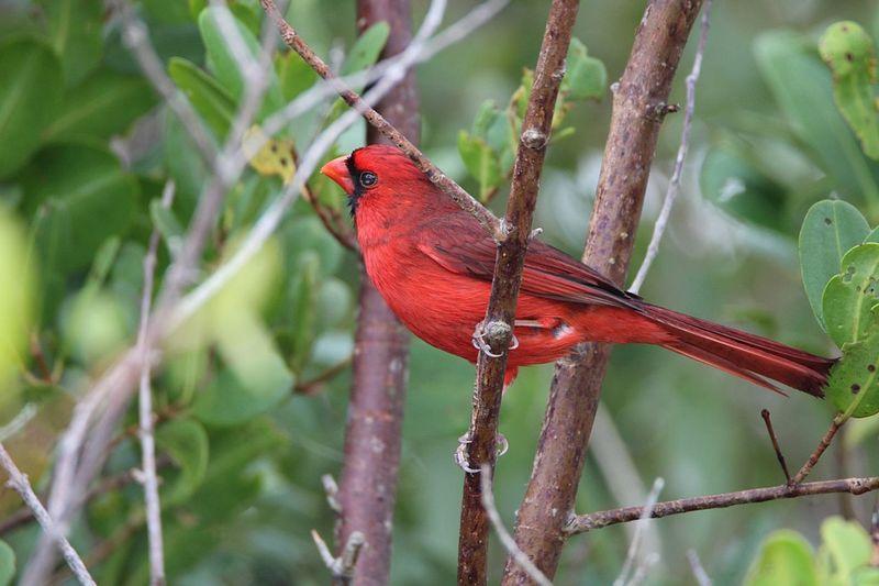 Cardinal - Bird