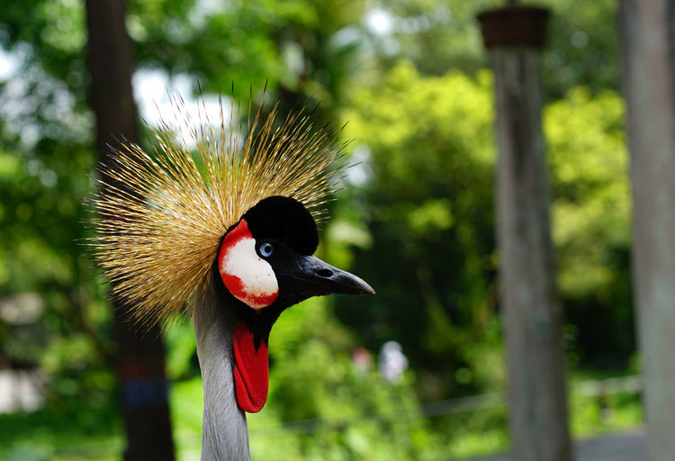 Close-up of grey crowned crane against trees