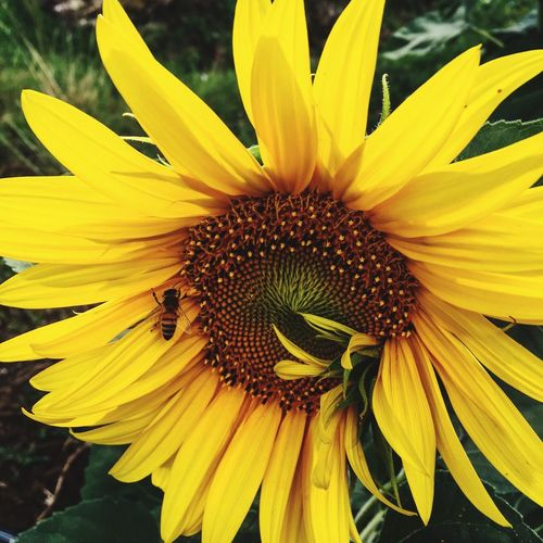 The nature is amazing Mypassion Amzing Happiness Photography Passion Wildlife Girasole Girasol Api Flower Flowering Plant Yellow Flower Head Fragility Inflorescence Vulnerability  Petal Beauty In Nature Pollen Nature Day Freshness Sunflower Outdoors