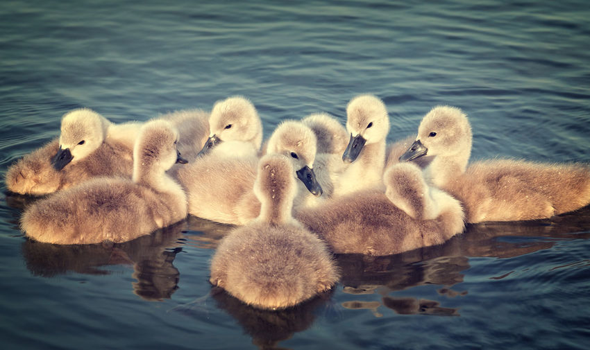 Animal Family Animal Themes Animal Wildlife Animals In The Wild Beauty In Nature Bird Bird Photography Birds Birds_collection Close-up Day Gosling Lake Lakes  Nature No People Outdoors Swan Swans Swimming Togetherness Water Waterfront Young Animal Young Bird
